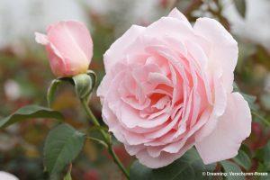 galerie_Vaccinium-corymbosum-'Pink-Berry'-®---1S1B4622_Diderk-Heinje_Baumschule-(11)