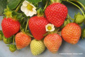 galerie_Vaccinium-corymbosum-'Pink-Berry'-®---1S1B4622_Diderk-Heinje_Baumschule-(12)