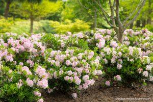galerie_Vaccinium-corymbosum-'Pink-Berry'-®---1S1B4622_Diderk-Heinje_Baumschule-(6)