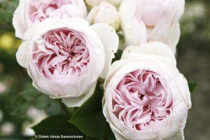 galerie_Vaccinium-corymbosum-'Pink-Berry'-®---1S1B4622_Diderk-Heinje_Baumschule-(7)