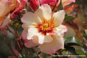 galerie_Vaccinium-corymbosum-'Pink-Berry'-®---1S1B4622_Diderk-Heinje_Baumschule-(9)