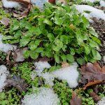 Was grünt hier im Winter?