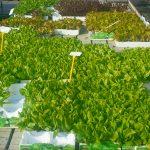 Salat - Jetzt in den Garten und bald genießen