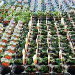 Erdbeer-Pflanzen (Fragaria ananassa)
