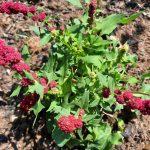ERDBEERSPINAT- eine URpflanze