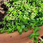 BRAHMI- die Gedächtnispflanze