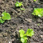 WINTERMARIE- eine URalte Salatsorte